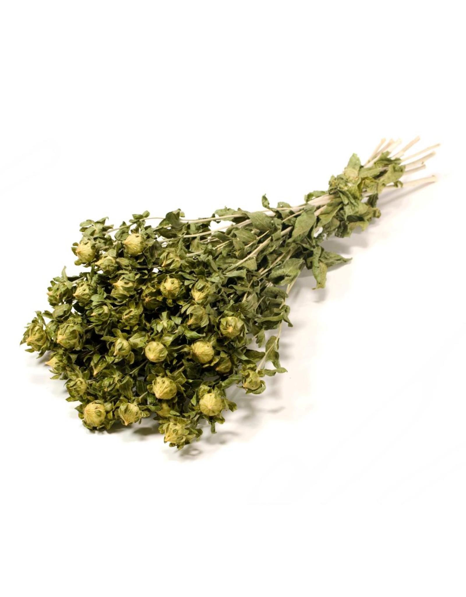 Bidens (carthamus) natural green x 15