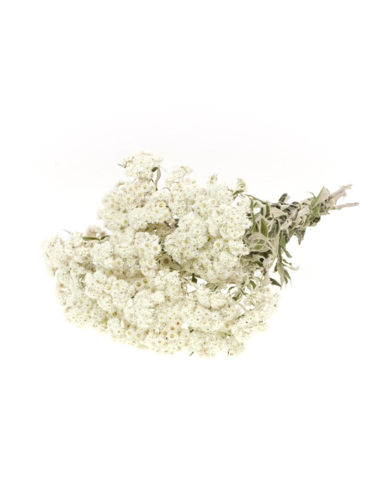 Anaphalis natural white x 25