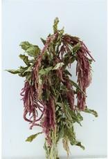 Dried Amaranthus Caud. Red x 2