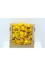 Dried Helichr Heads Yellow 500gr Box x 1