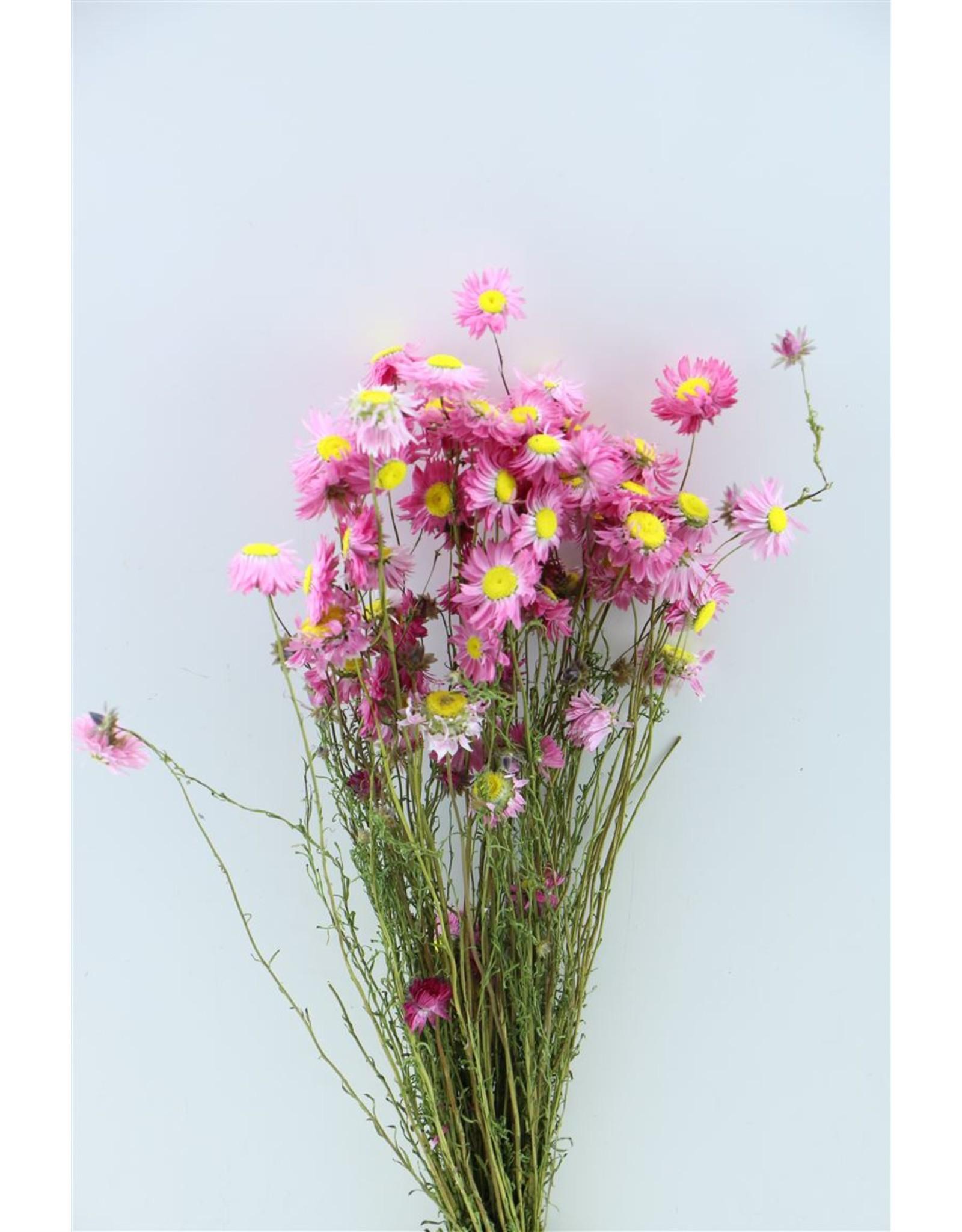 Dried Acroclinium Pink Bunch x 2