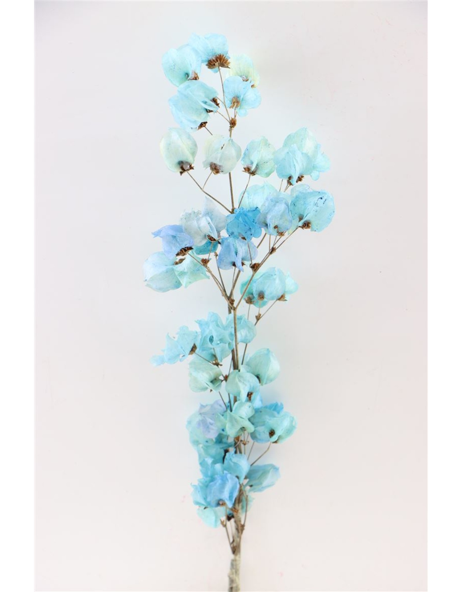 Dried Bougainvillea 45cm Turquoise Bunch x 5