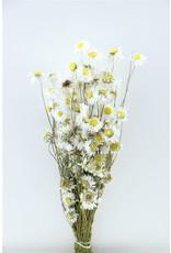 Dried Acroclinium White Bunch x 2