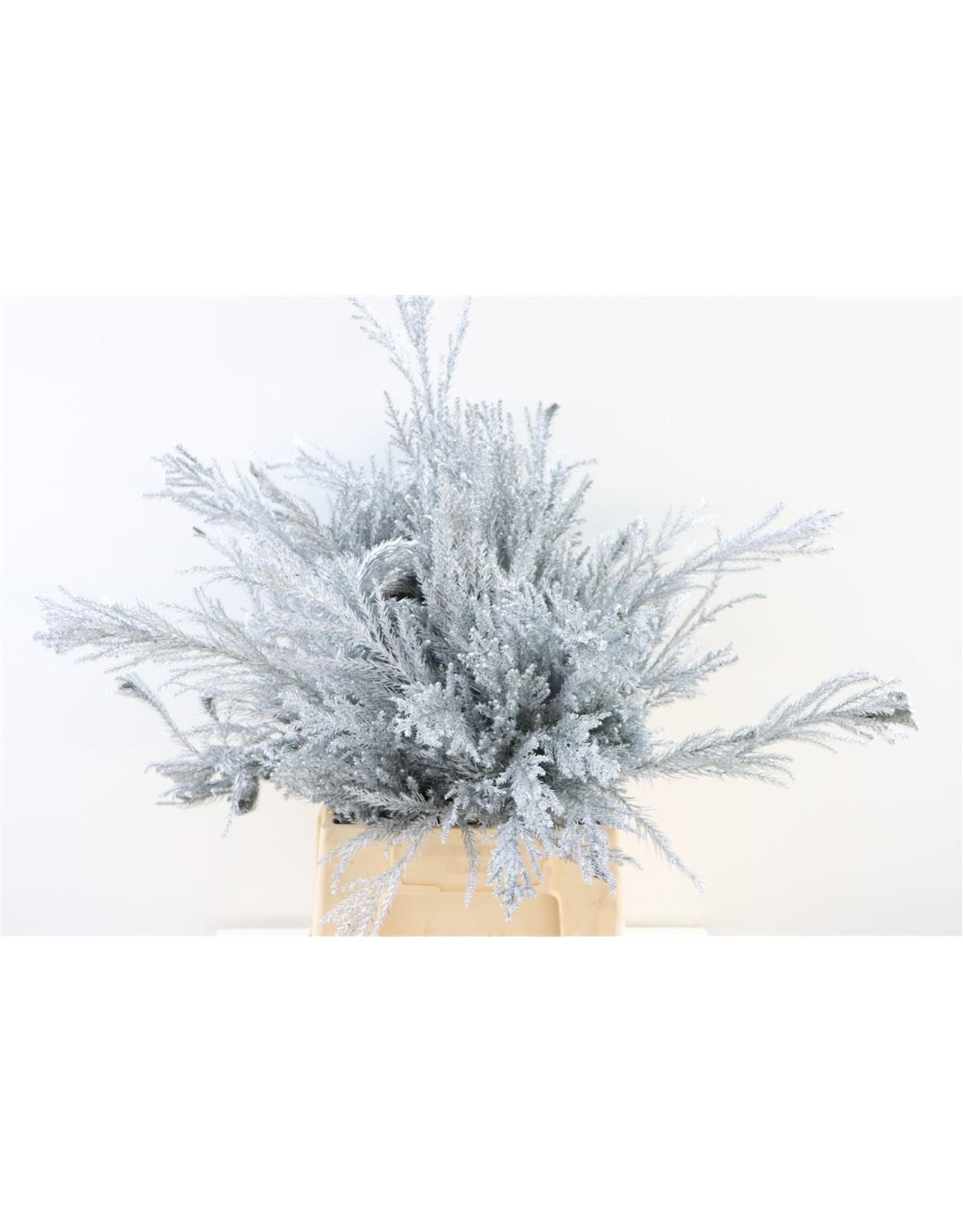 Cryptomeria Silver Ex. Bunch x 6