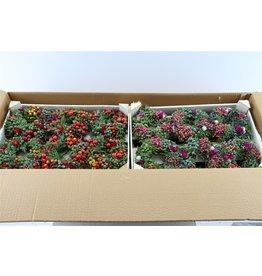 Wr. Sierfruit Mini X6 Red/pink x 12