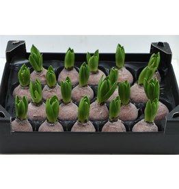 Wax Hyacinth Gl Koper x 20