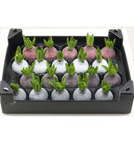 Wax Hyacinth Gl Mix x 20