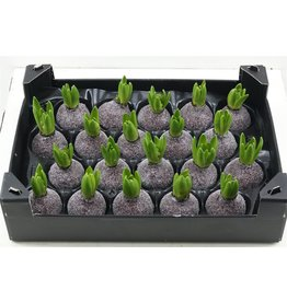 Wax Hyacinth Gl Wijnrood x 20