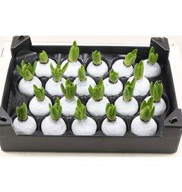 Wax Hyacinth Gl Wit x 20
