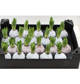 Wax Hyacinth Snow Mix x 20