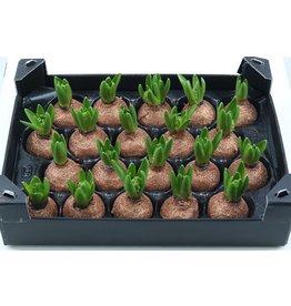 Wax Hyacinth Topline Gl Koper x 20