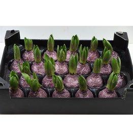 Wax Hyacinth Topline Gl Lavendel x 20