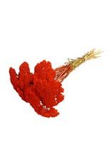 Achillea per stem Red x 100