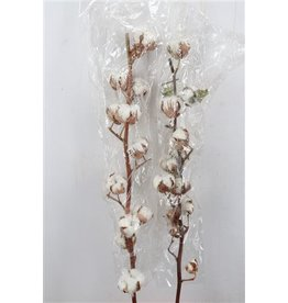 Dried Gossypium (katoen) 12 Bal x 5