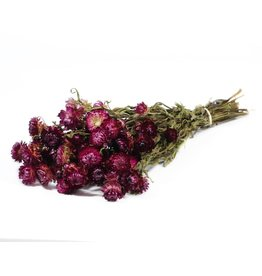 Helichrysum natural dark pink x 20