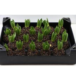Wax Hyacinth Natural Wood x 20
