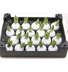Wax Hyacinth Snow Wit x 20