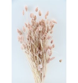 Dried Phalaris Soft Pink Bunch x 1