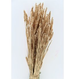 Dried Triticum Old Gold Bunch x 2