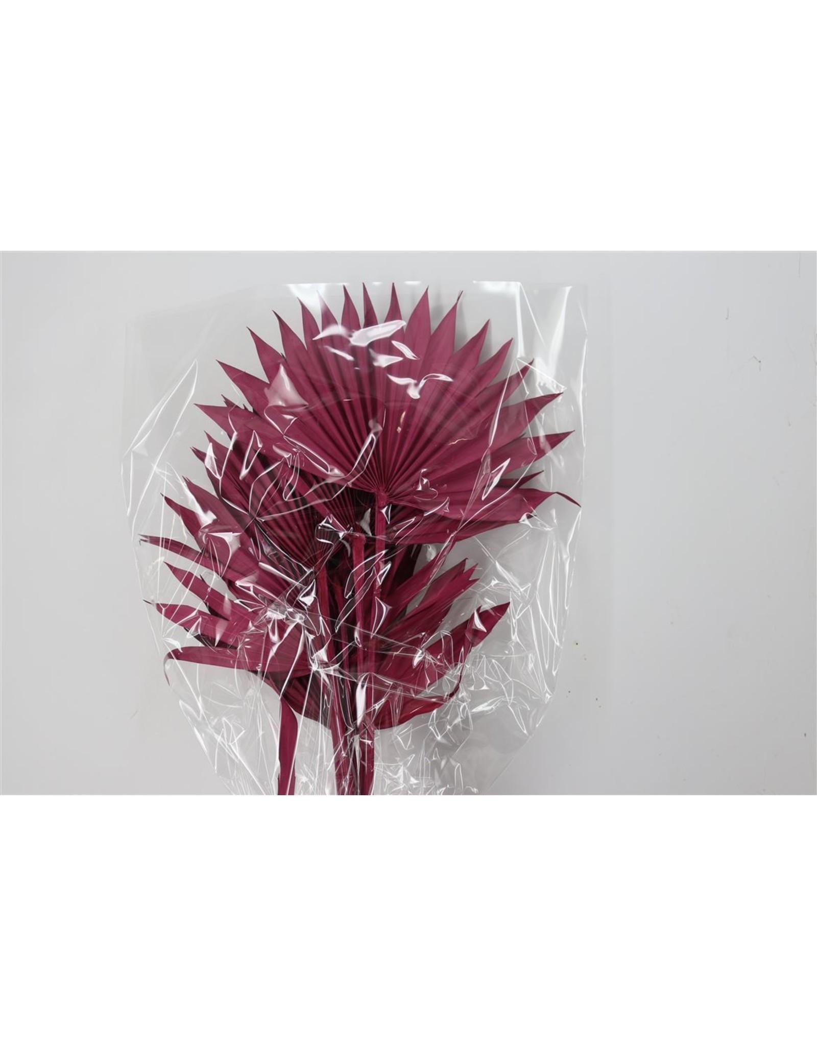 Dried Palm Sun 6pc Cerise Bunch x 1