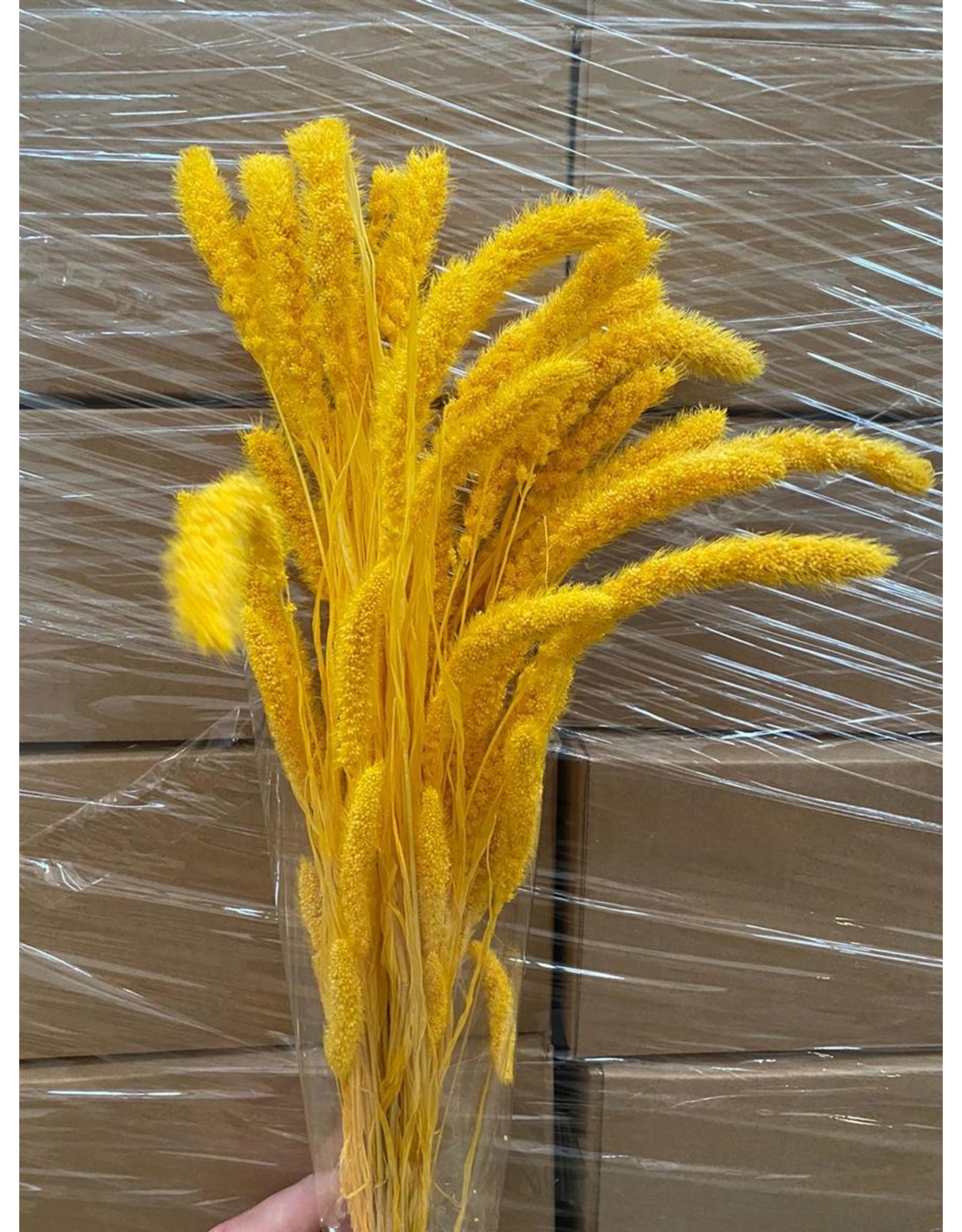 Dried Setaria Yellow Bunch x 1