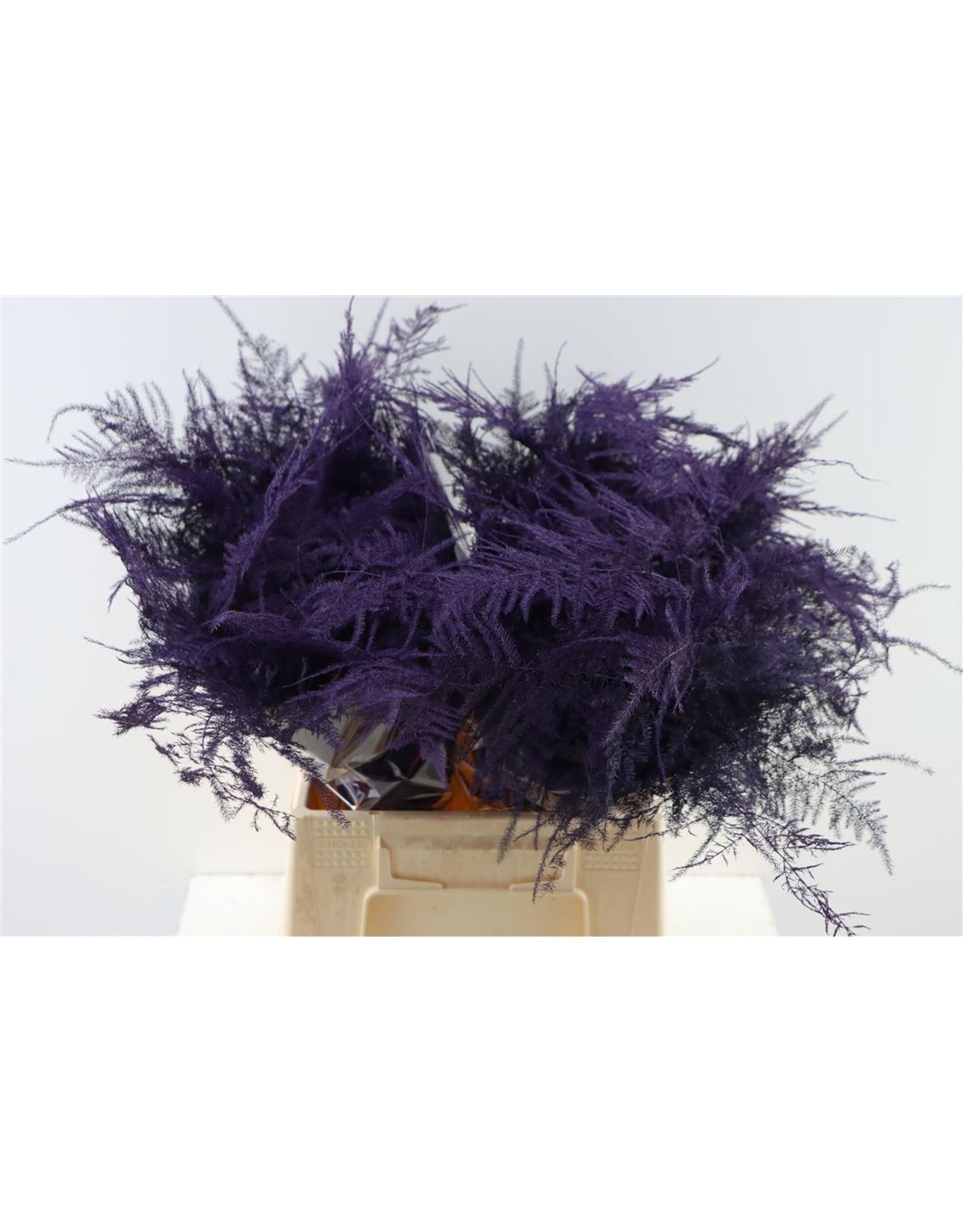Asp. 1e Veren Purple x 50