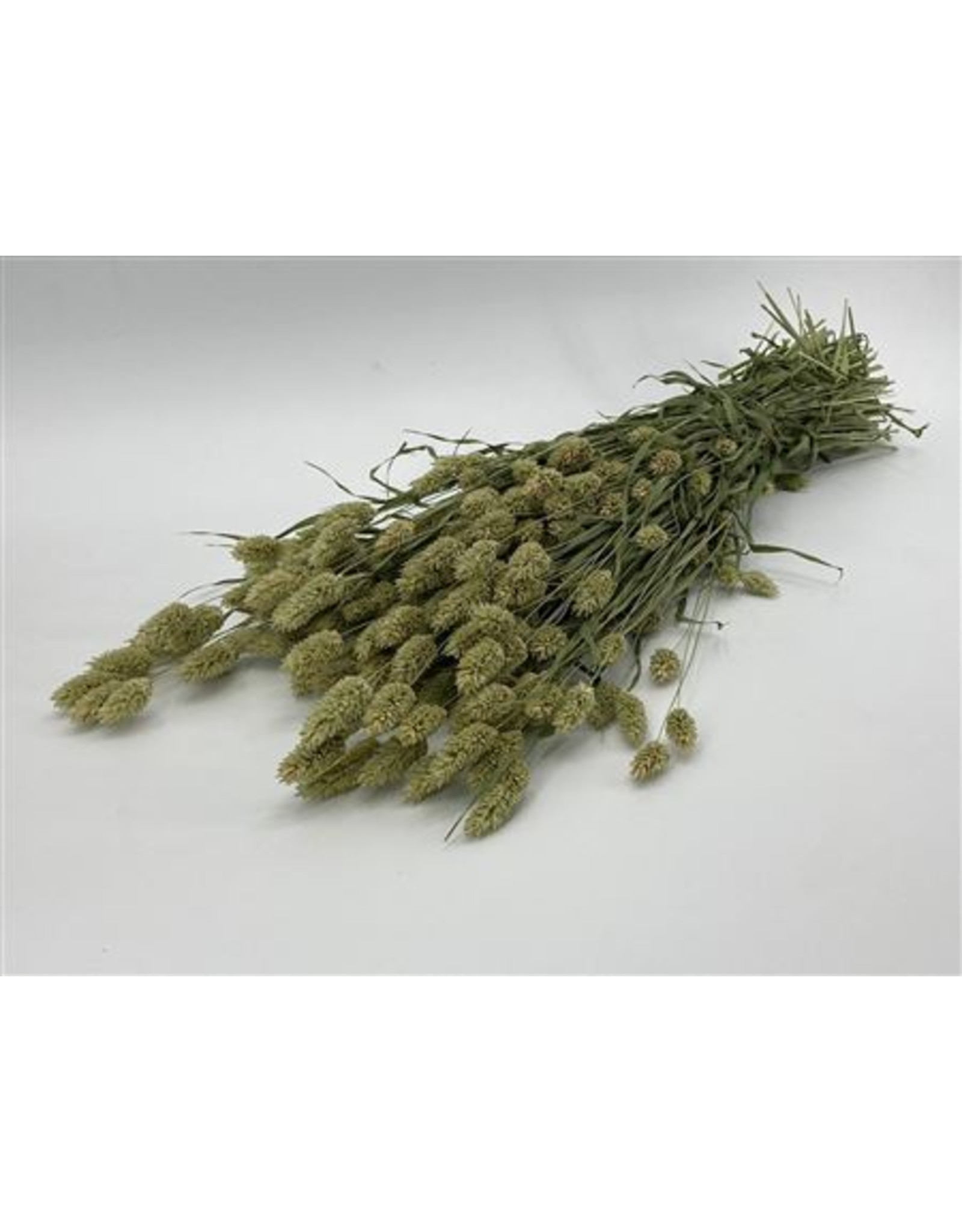Dried Phalaris Naturel Bunch x 5