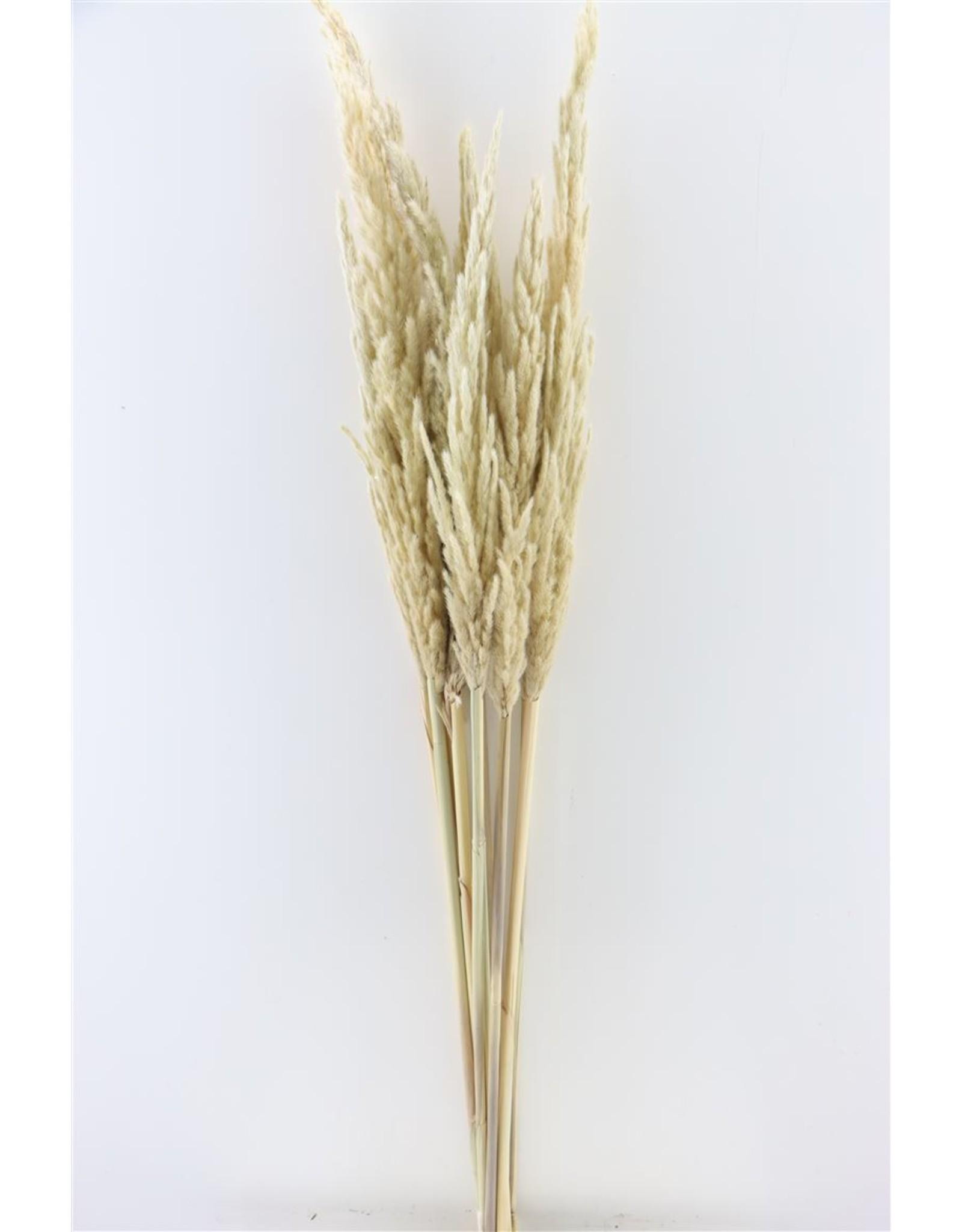 Dried Eryanthus Natural Pst x 50