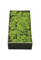 Reindeer moss preserved green x 6