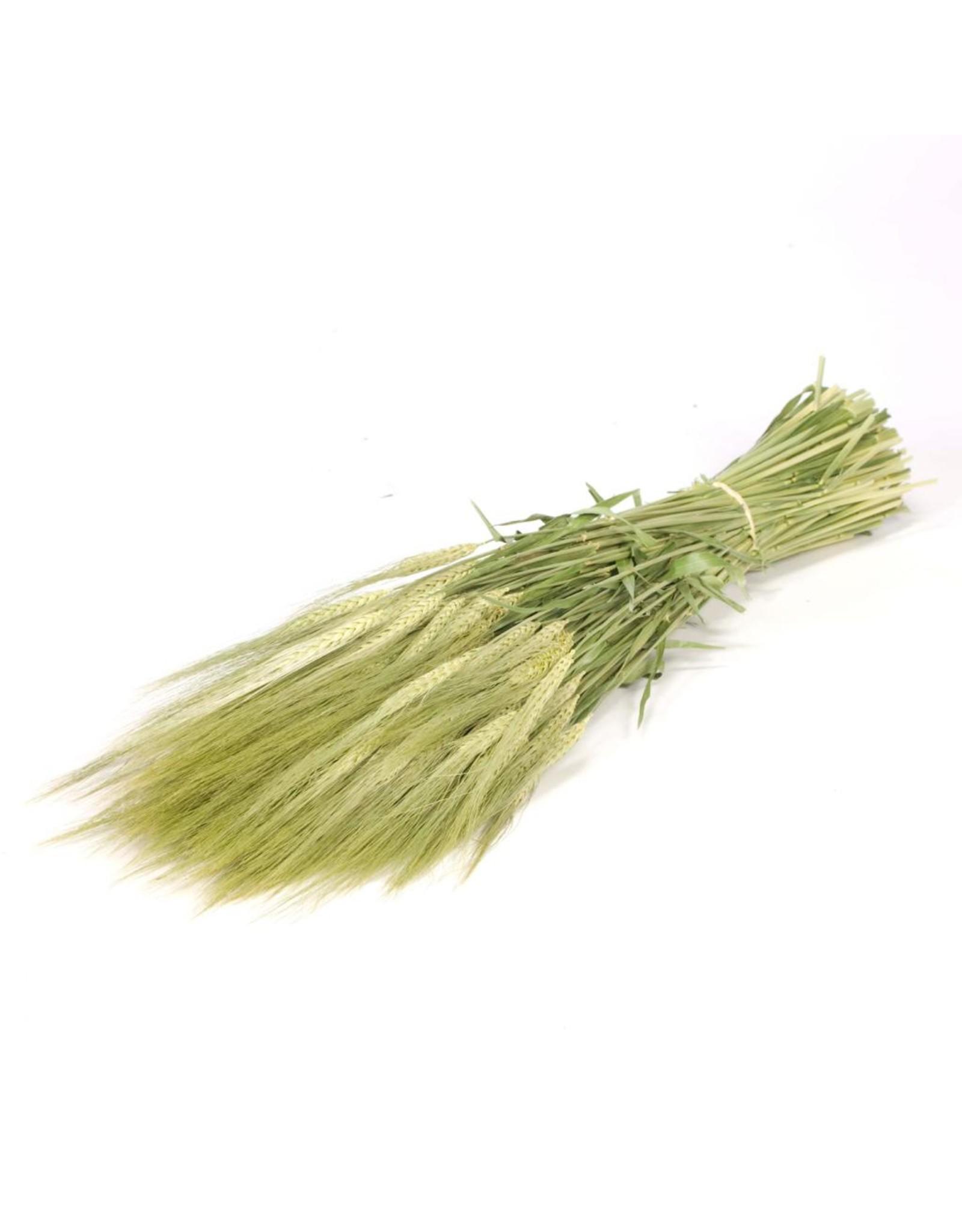 Gerst (hordeum) natural green x 18