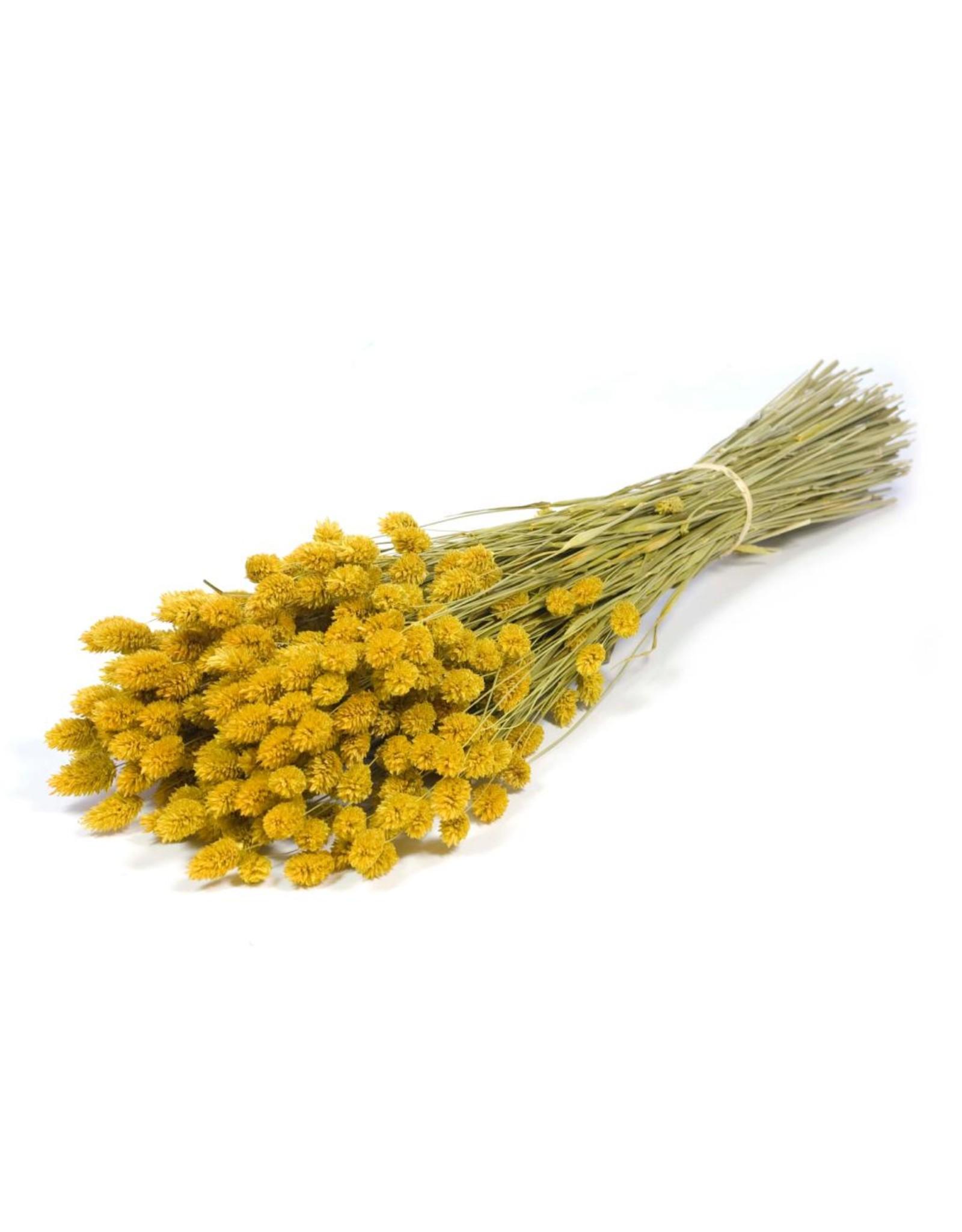 Phalaris yellow x 20