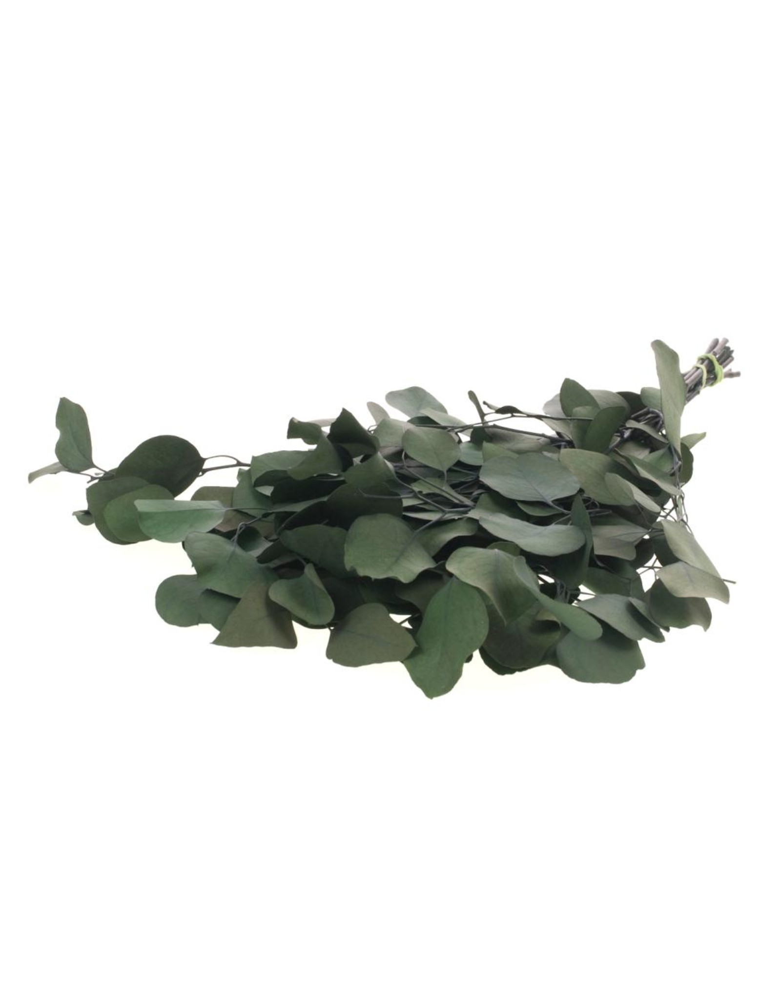 Eucalyptus populus preserved A moss green x 30