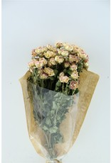 Dried Roses Spray 40cm Bicolor Pink x 20
