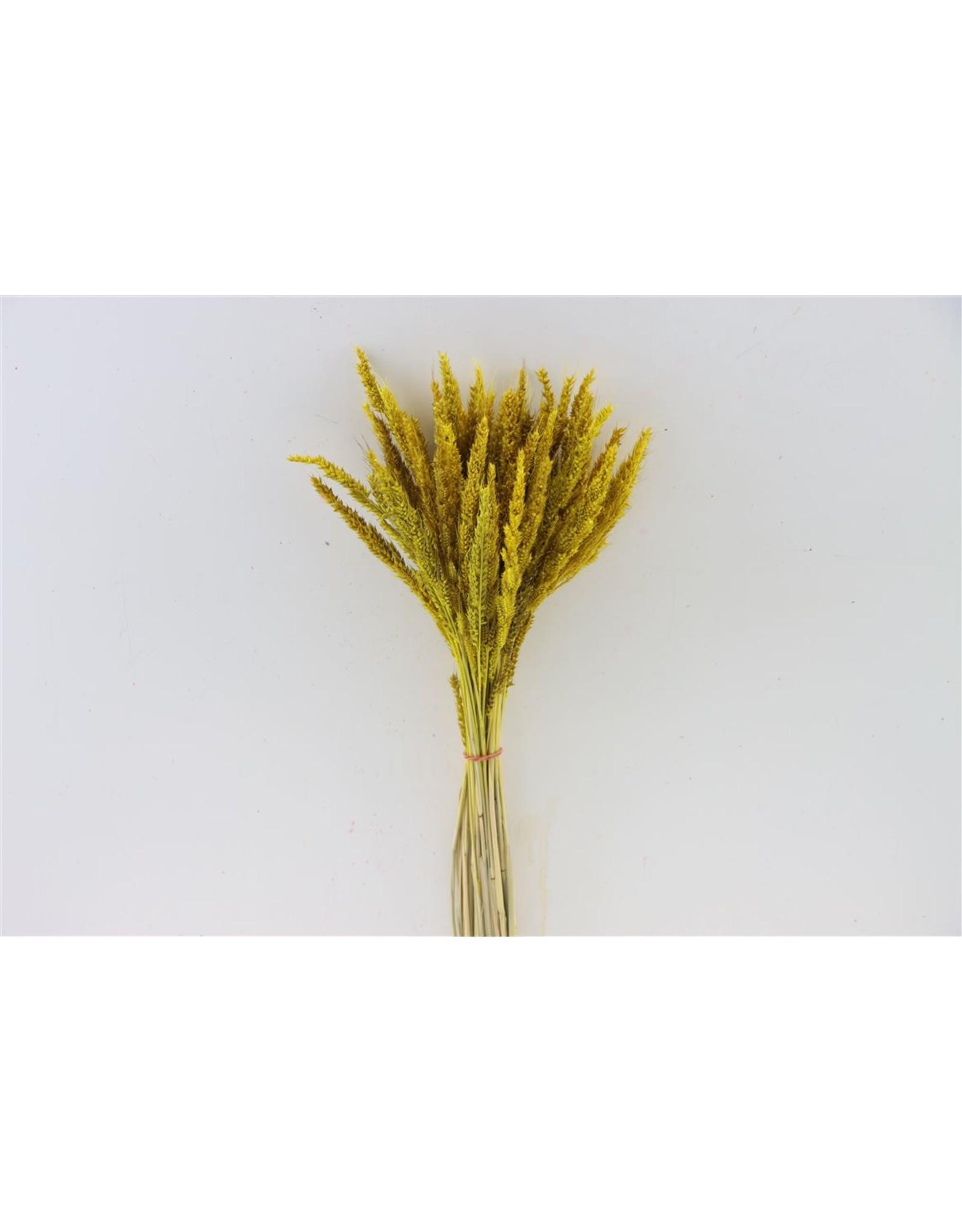 Dried Pinion Grass Yellow Bunch x 20