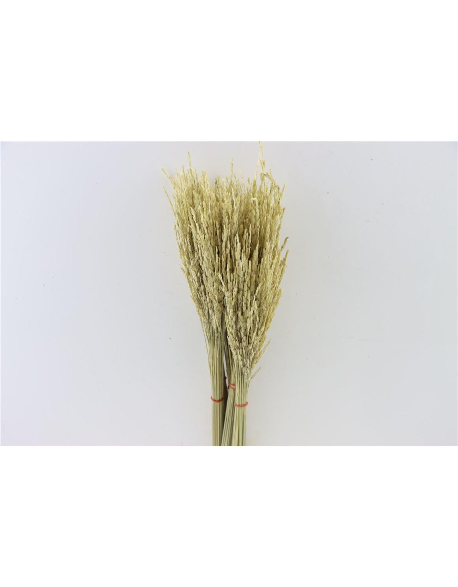 Dried Rice Oryza Natural Bunch x 20