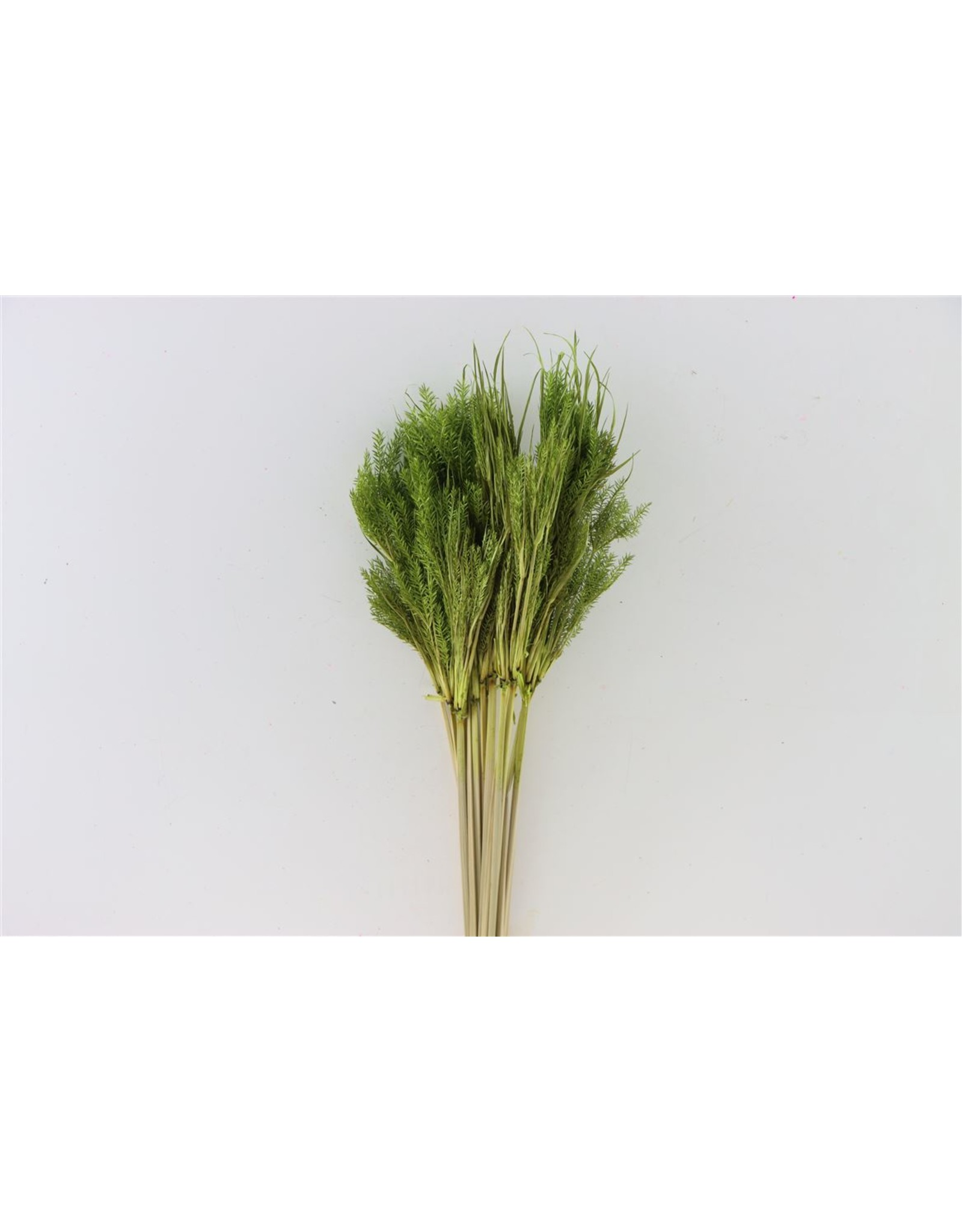 Dried Umbr. Plant Green Bunch x 20