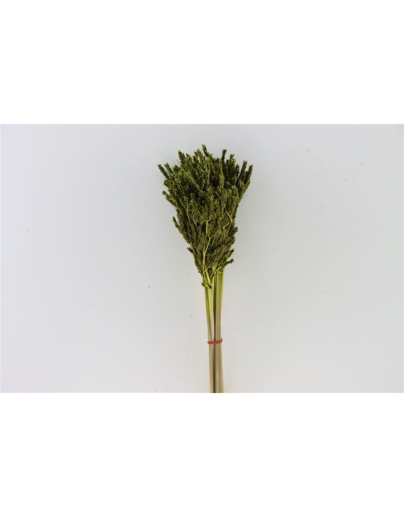 Dried Umbr. Sedge Big Leaf Green Bunch x 20