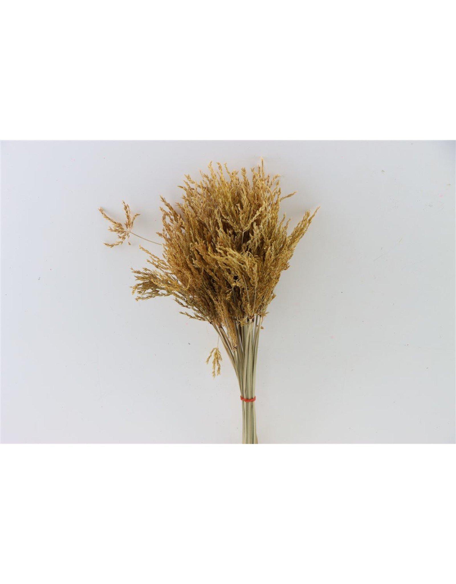 Dried Umbr. Sedge Sm. Leaf Natural Bunch x 20