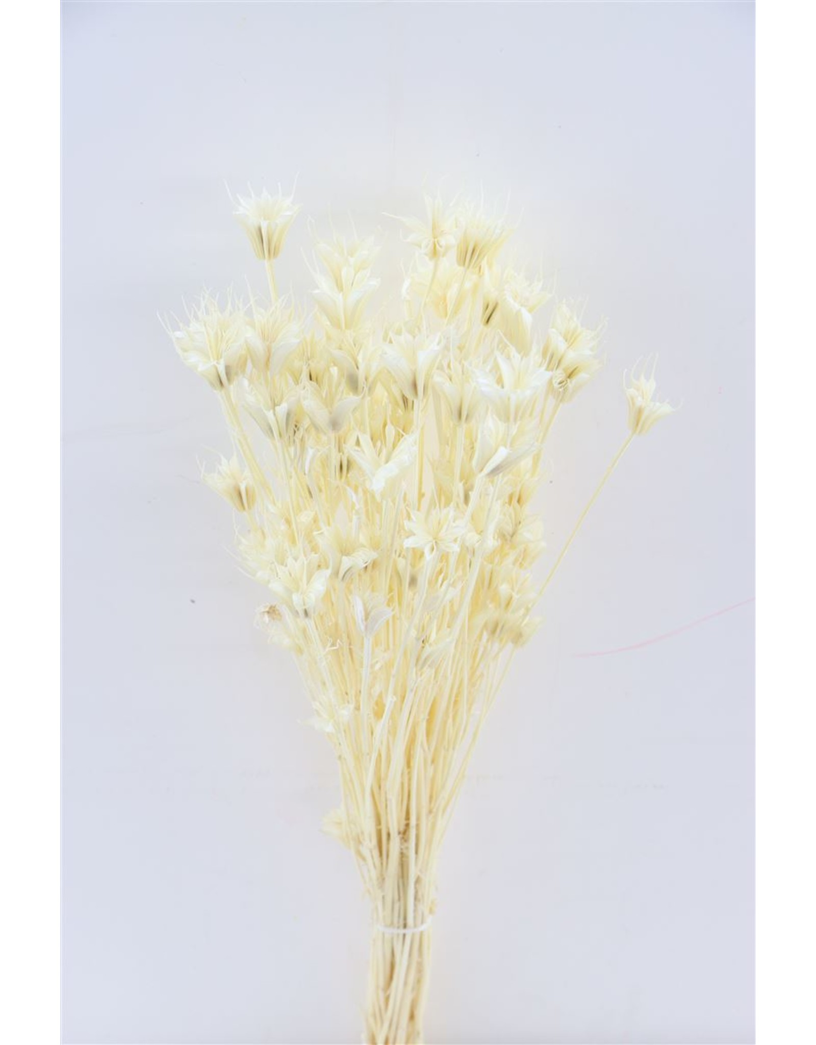 Dried Nigella Orient Bleached Bunch Poly x 5