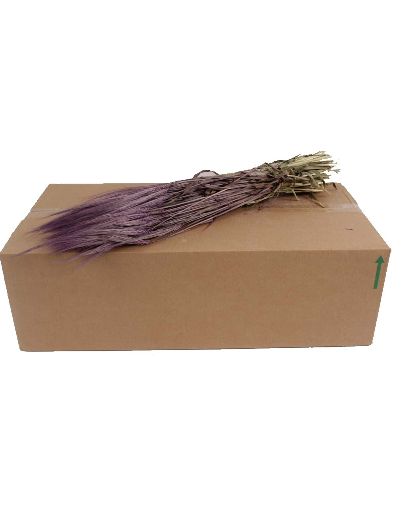 Hordeum per bunch Purple x 25