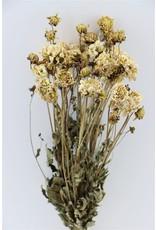 Dried Dahlia White 20 Stems Bunch x 2