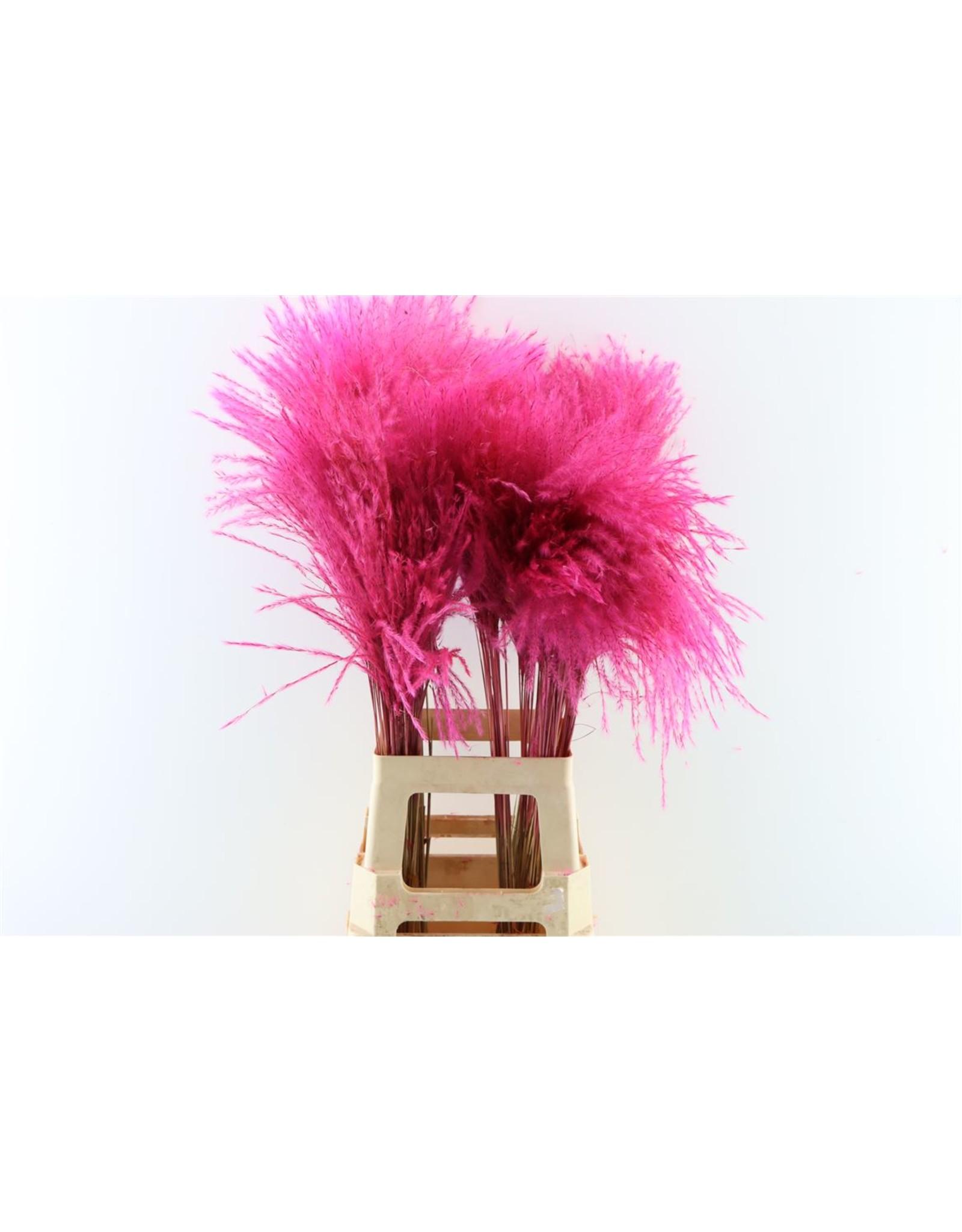 Dried Stipa Feather Cerise P. Stem x 50
