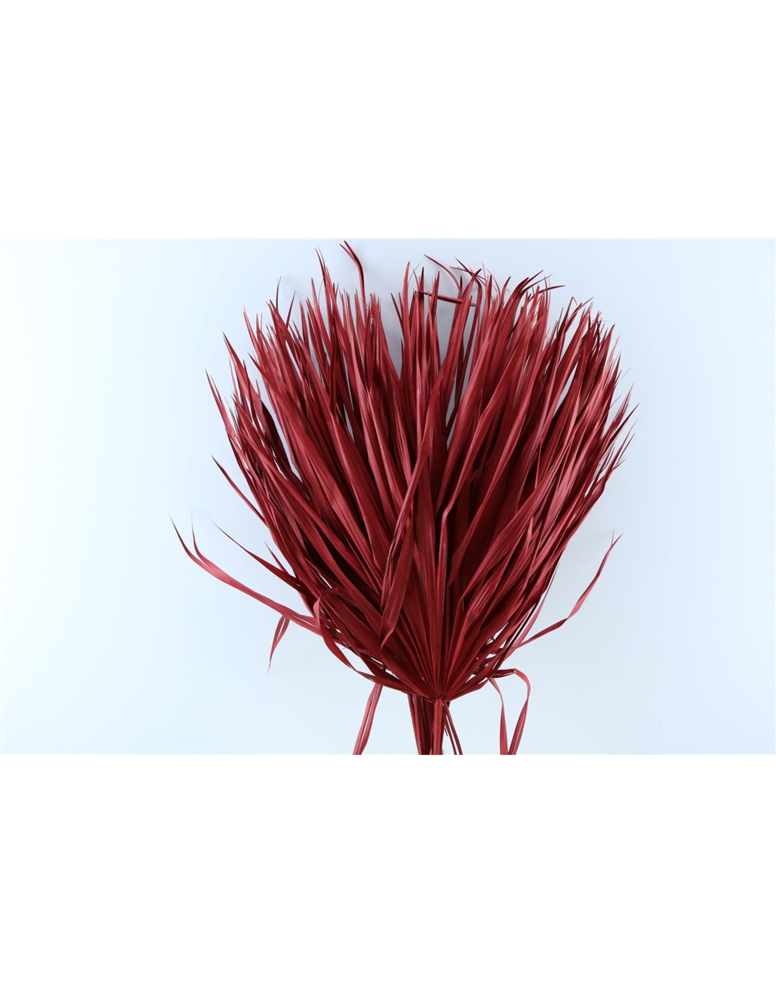 Dried Chamaerops (10tk) Red Bunch x 1