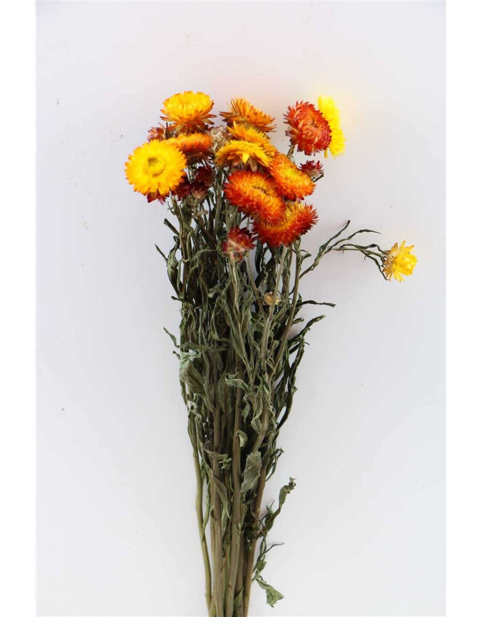 Dried Helichrysum Orange Bunch x 2