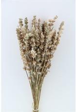 Dried Salvia Wild Nat. Bunch Poly x 4