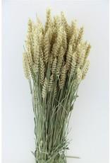 Dried Triticum (tarwe) Natural Bunch x 5
