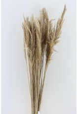 Dried Reed Plume 12pc Bunch x 5