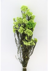 Pres Rice Flowers L. Green Bunch x 2