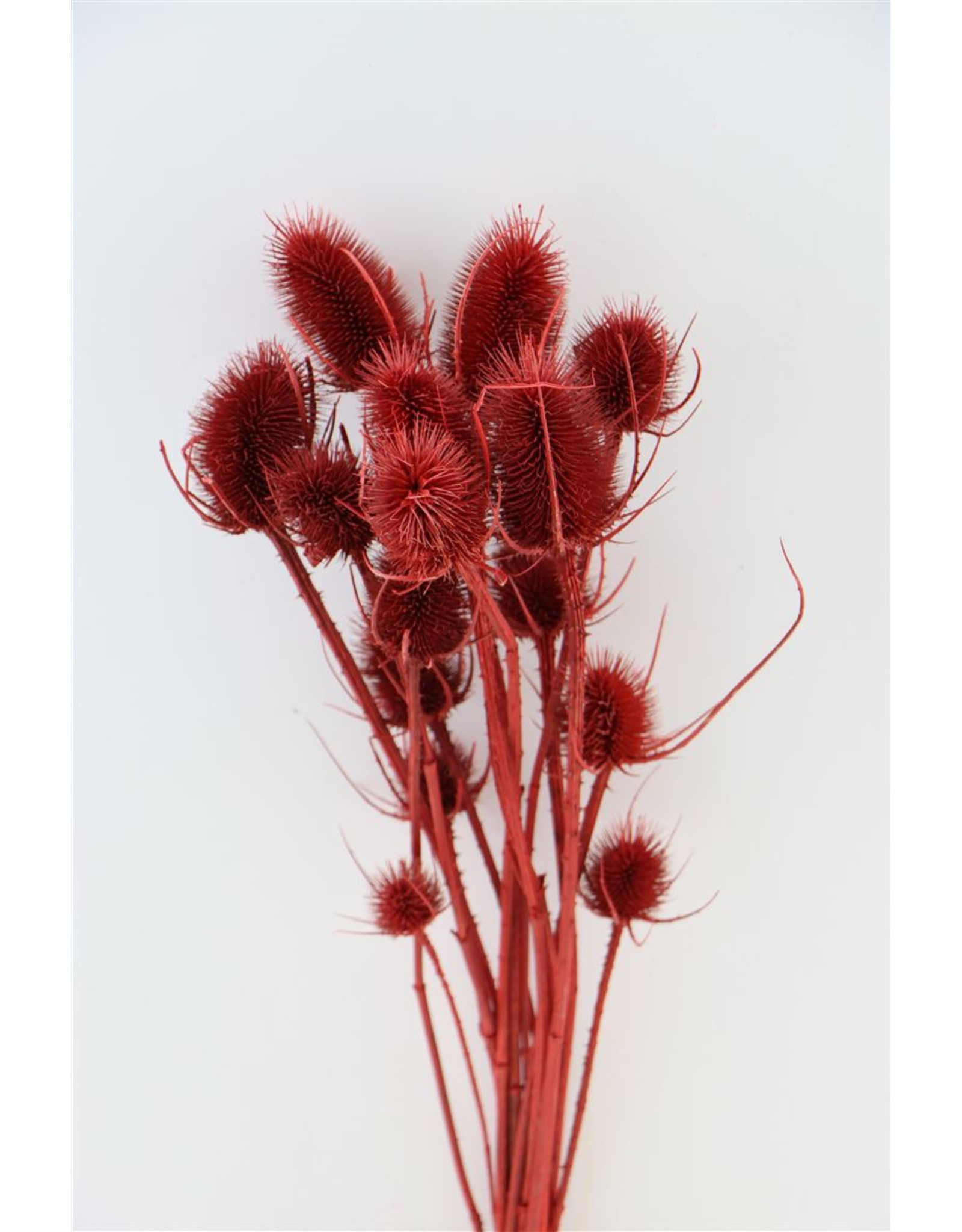 Dried Thistle Bright Red Bunch x 3