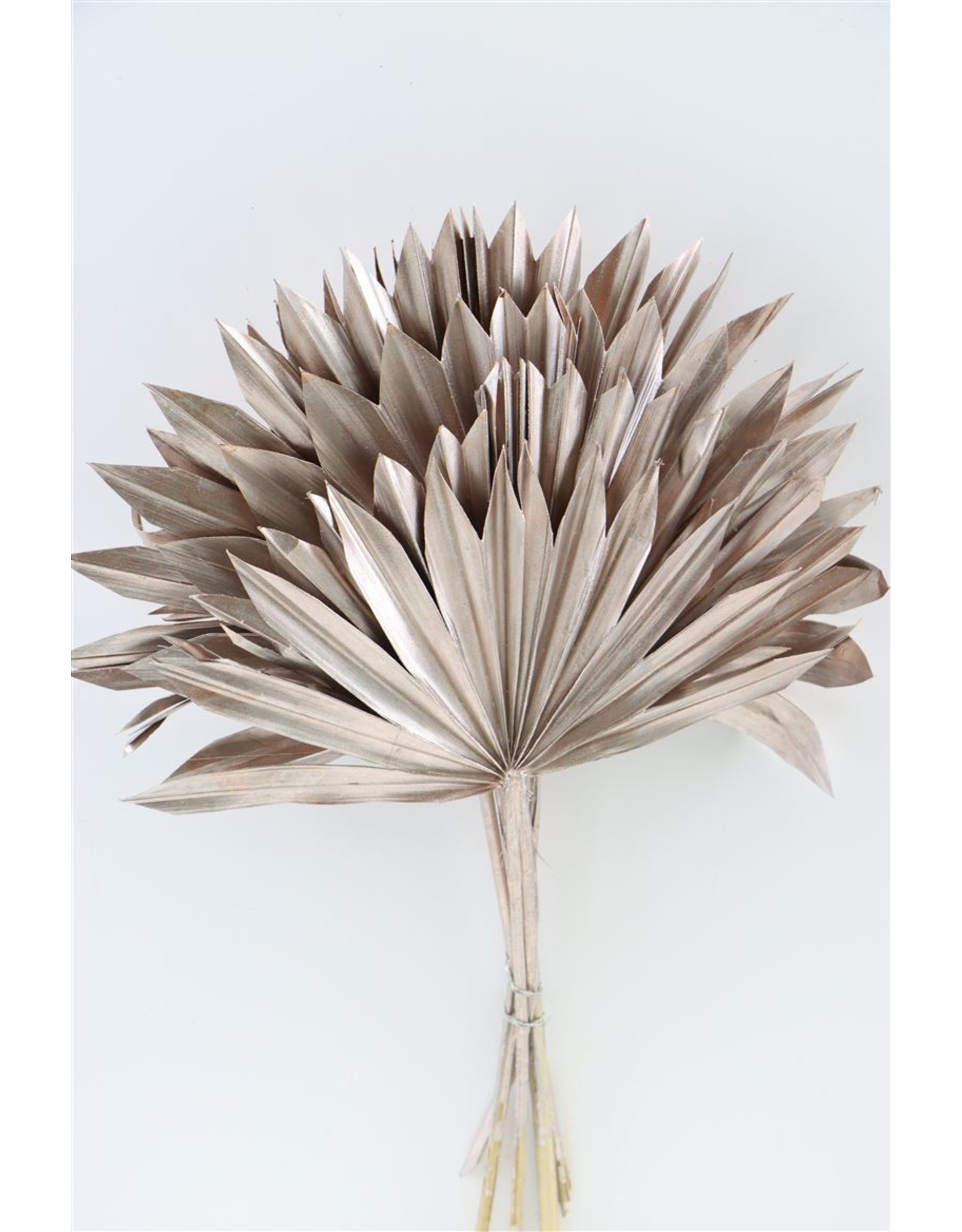 Dried Palm Sun 6pc Champagne Bunch x 3